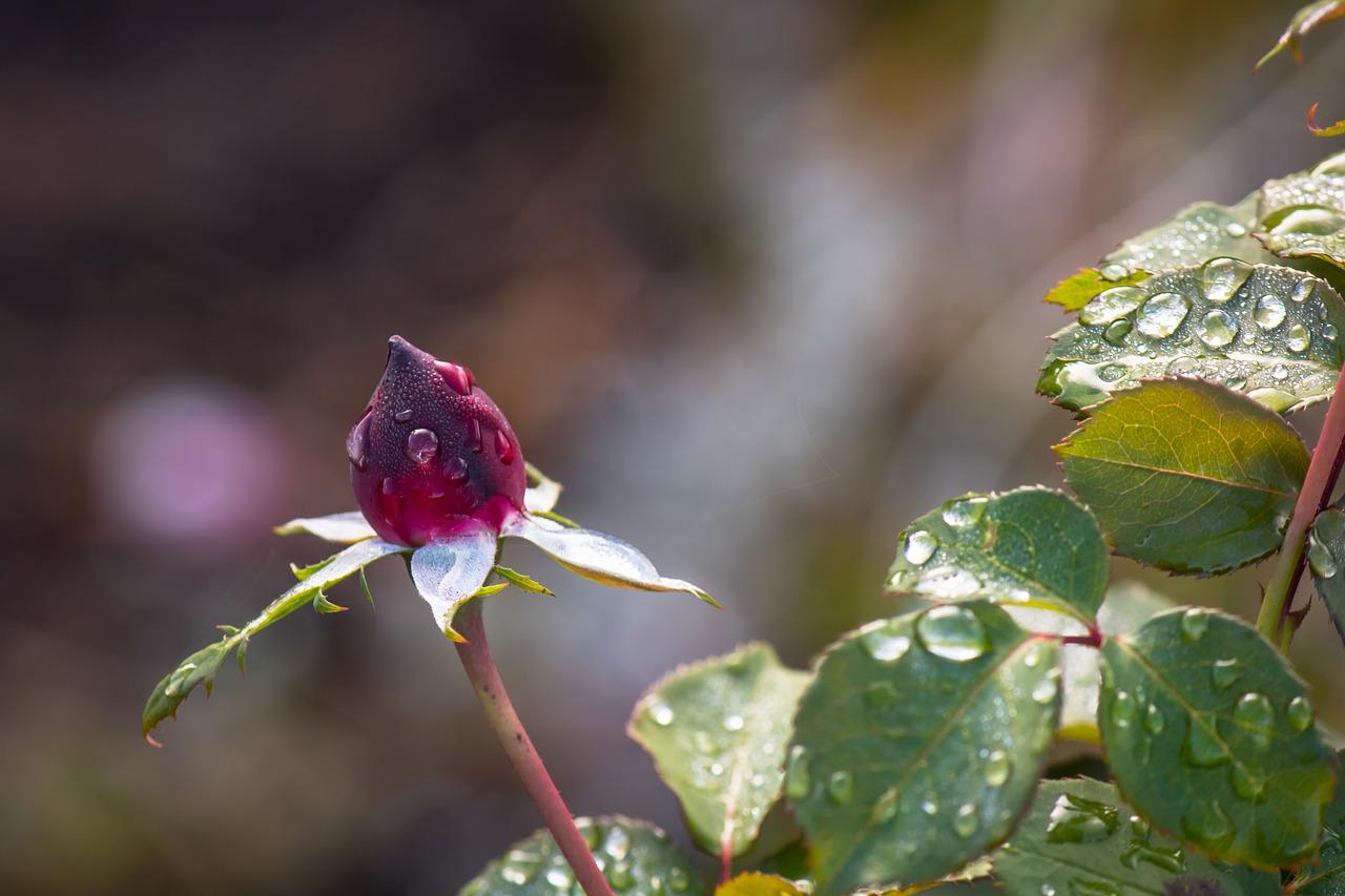 くれ ない の 二 尺 伸び たる 薔薇 の 芽 の 針 やわらか に 春雨 の ふる