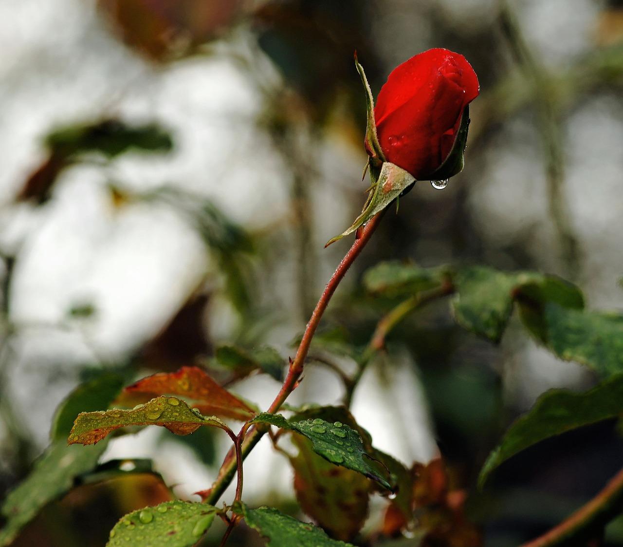 くれ ない の 二 尺 伸び たる 薔薇 の 芽 の 針 やわらか に 春雨 の ふる 意味 くれないの二尺のびたる薔薇の芽の針やはらかに春雨の降るこの短歌は...