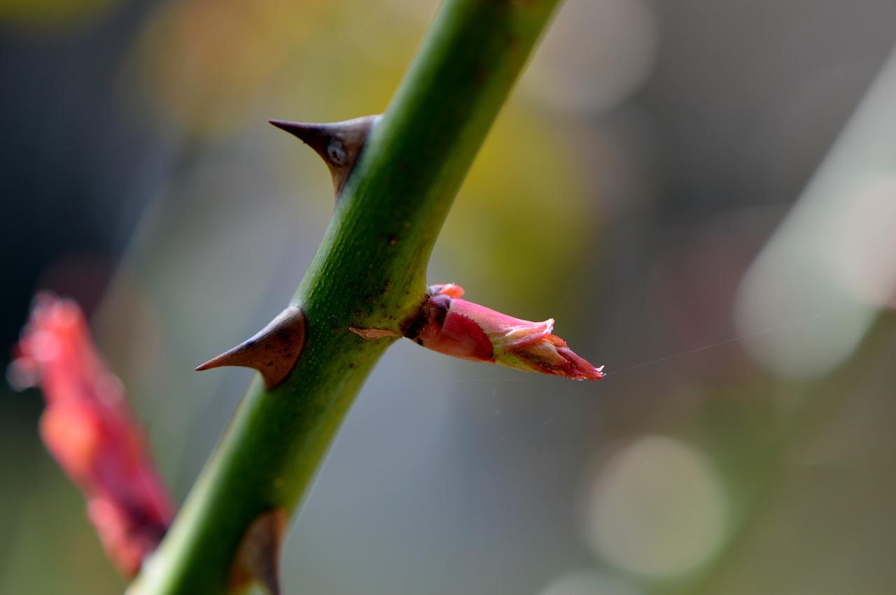 針 ふる に の 芽 春雨 の やわらか 二 伸び くれ の ない 薔薇 の 尺 たる