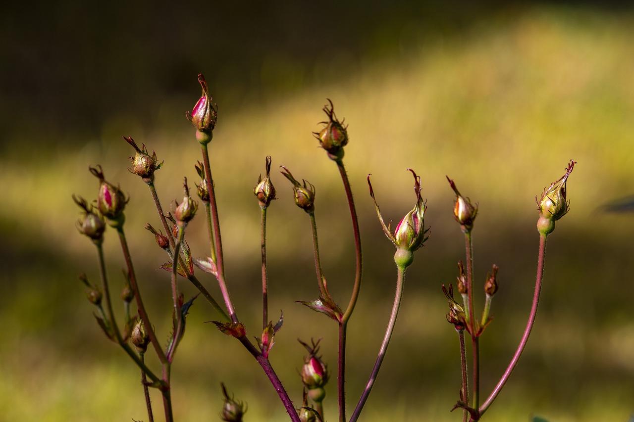 くれ ない の 二 尺 伸び たる 薔薇 の 芽 の 針 やわらか に 春雨 の ふる 意味 正岡子規短歌 くれないの – DRJKS